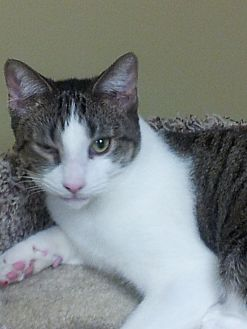 Domestic Shorthair Cat for adoption in Hazlet, New Jersey - JoJo