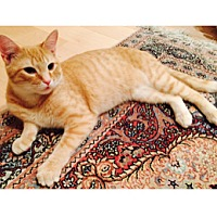 Adopt A Pet :: OLIVER- WORLDS BEST ORANGE TABBY KITTEN - Philadelphia, PA