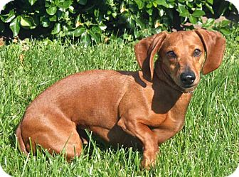 Dachshund Dog for adoption in Salem, New Hampshire - WALLY
