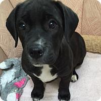 Adopt A Pet :: Dora - Schaumburg, IL
