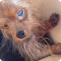 Adopt A Pet :: Mollie - Maricopa, AZ