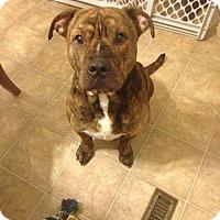 Pit Bull Terrier Mix Dog for adoption in Pataskala, Ohio - Apollo (adoption pending)