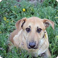 Adopt A Pet :: Yolo - Westminster, CO
