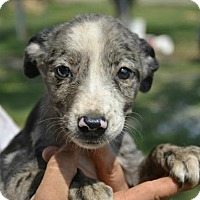 Adopt A Pet :: Violet - Trenton, NJ