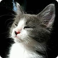 Adopt A Pet :: Cheezmo - Troy, MI