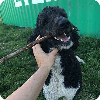 Standard Poodle Mix Dog for adoption in Weatherford, Texas - *Romeo*