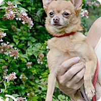 Chihuahua Dog for adoption in Willingboro, New Jersey - Pia