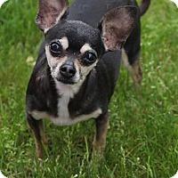 Adopt A Pet :: Luna - Minneapolis, MN