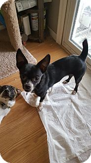 Chihuahua Mix Dog for adoption in C/S & Denver Metro, Colorado - Nae Nae  2 Years