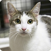 Domestic Shorthair Cat for adoption in Kettering, Ohio - Wednesday