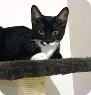 Domestic Shorthair Cat for adoption in Lee's Summit, Missouri - Narcisse