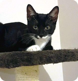 Domestic Shorthair Kitten for adoption in Lee's Summit, Missouri - Narcisse