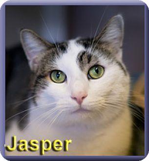 Domestic Shorthair Cat for adoption in Aldie, Virginia - Jasper