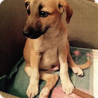 Adopt A Pet :: Pasha - Iran Pup - Encino, CA