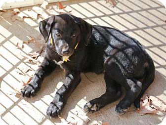 Labrador Retriever Mix Puppy for adoption in Nesbit, Mississippi - Heidi