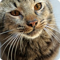 Maine Coon Cat for adoption in McKinney, Texas - Scar