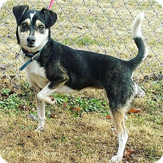 Jack Russell Terrier/Spitz (Unknown Type, Small) Mix Dog for adoption in Cannelton, Indiana - Paris