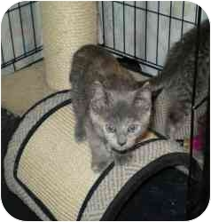 Domestic Shorthair Kitten for adoption in Boston, Massachusetts - Sadie