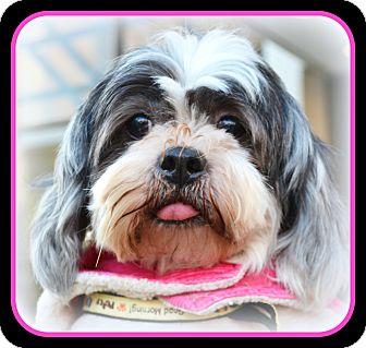 Shih Tzu Dog for adoption in Mays Landing, New Jersey - Sassie-VA