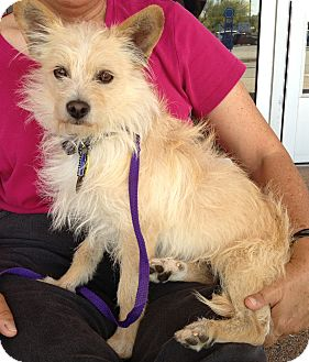 Terrier (Unknown Type, Small)/Cairn Terrier Mix Dog for adoption in Phoenix, Arizona - Odie