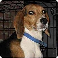 Adopt A Pet :: Clover - Rigaud, QC
