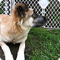 Adopt A Pet :: Josie - New Boston, NH