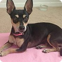 Adopt A Pet :: Frenchie - Austin, TX