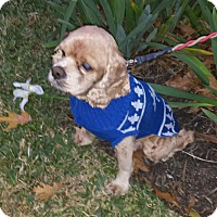 Adopt A Pet :: Jingles - Sugarland, TX
