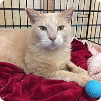 Domestic Shorthair Cat for adoption in Sherman Oaks, California - Kyle