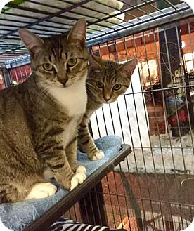 Domestic Shorthair Cat for adoption in Queens, New York - Ozzy