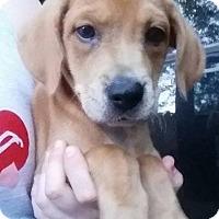 Adopt A Pet :: Denzel - Gainesville, FL