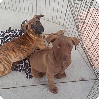 Adopt A Pet :: Tiger meet me 11/14 - East Hartford, CT