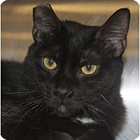 Adopt A Pet :: Midnight - Morganton, NC