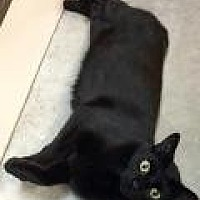 Adopt A Pet :: Midnight - Livonia, MI