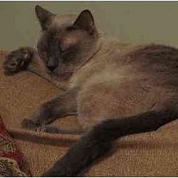 Photo 4 - Siamese Cat for adoption in Austin, Texas - Douglas