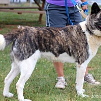 Akita Dog for adoption in Virginia Beach, Virginia - Opal