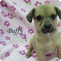Adopt A Pet :: Buffy - Bartonsville, PA