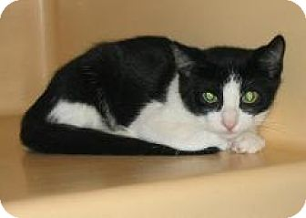 American Shorthair Kitten for adoption in Brooklyn, New York - Shake