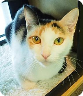 Domestic Shorthair Cat for adoption in New Orleans, Louisiana - Poppy