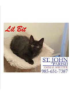 Domestic Mediumhair Kitten for adoption in Laplace, Louisiana - Lil'Bit