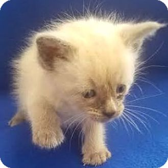 Siamese Cat for adoption in Show Low, Arizona - Heebee