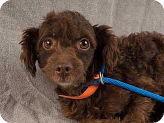 Miniature Poodle Dog for adoption in Colorado Springs, Colorado - Garbo