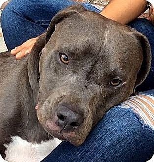 Pit Bull Terrier Dog for adoption in Los Angeles, California - RAYNA (video)