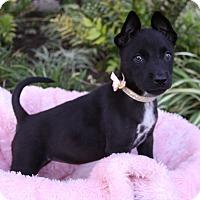 Adopt A Pet :: SUKI - Newport Beach, CA