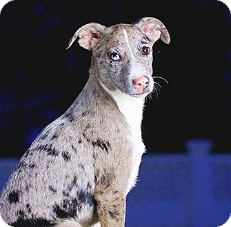 Catahoula Leopard Dog/Australian Cattle Dog Mix Puppy for adoption in Cincinnati, Ohio - Kingsbury