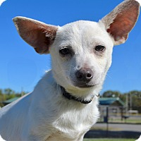 Chihuahua/Cattle Dog Mix Puppy for adoption in Westport, Connecticut - COME MEET Bruno (and his ears)