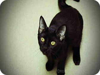 Domestic Mediumhair Cat for adoption in Decatur, Illinois - HARLEY