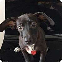 Adopt A Pet :: Rico - Weston, FL
