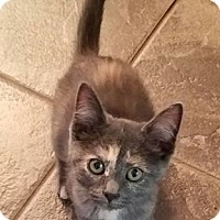 Domestic Shorthair Cat for adoption in Speedway, Indiana - Dottie