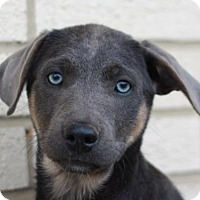 Doberman Pinscher Mix Puppy for adoption in Cookeville, Tennessee - Jethro